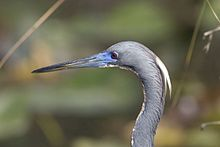 Heron - Tri Colored (4), NPSPhoto, R. Cammauf (9101547092).jpg