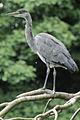 Heron Bushy Park 05.JPG