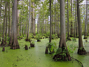 Mississippi lowland forests - Cache River State Natural Area, Illinois