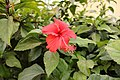 Hibiscus flower plant at Haryana India.jpg