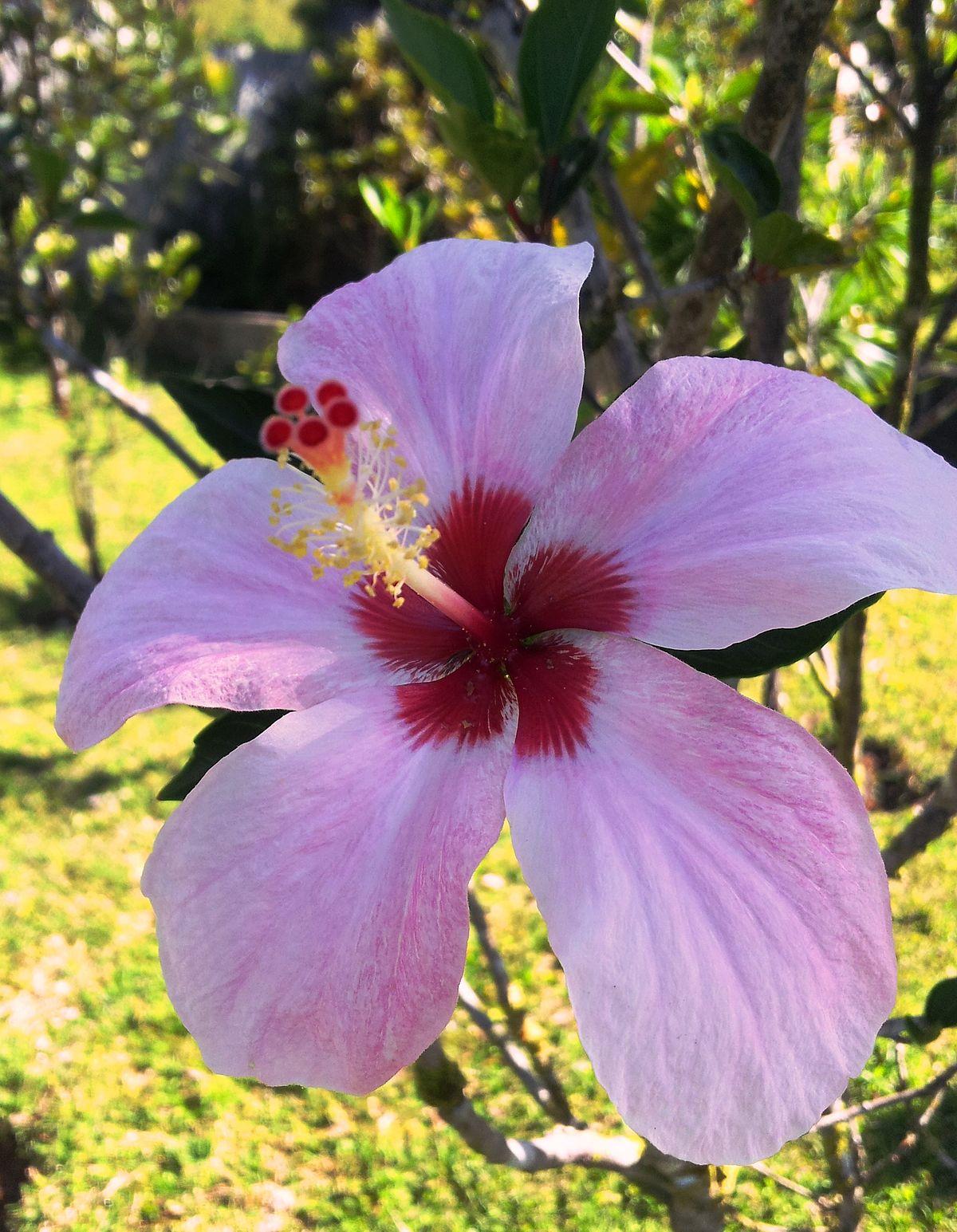 Hibiscus Genevii Wikipedia