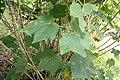 Hibiscus mutabilis 5zz.jpg