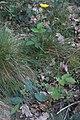 Hieracium murorum-Epervière des murs-20180529.jpg