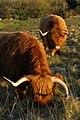 Highland cattle grazing Shawford Down - geograph.org.uk - 1115255.jpg