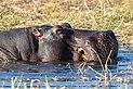 Hipopótamo (Hippopotamus amphibius), parque nacional de Chobe, Botsuana, 2018-07-28, DD 60.jpg