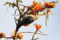 Hoffman's woodpecker (F).jpg