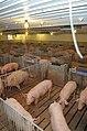 Hog farming in Kansas 06.jpg