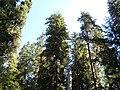 Hoh Rainforest - Olympic National Park - Washington State (9780228836).jpg