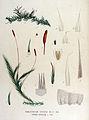 Homalothecium sericeum — Flora Batava — Volume v15.jpg