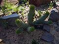 Hoodia gordonii 2007-06-02.jpg