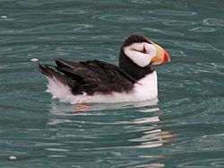 Horned Puffin RWD4.jpg