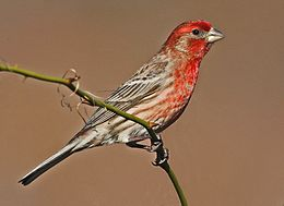 House Finch - Carpodacus mexicanus, Occoquan Bay National Wildlife Refuge, Woodbridge, Virginia.jpg