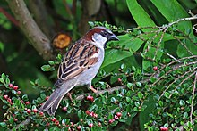 House sparrow (Passer domesticus) male 2.jpg