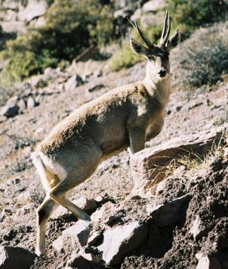 Asana, Peru - Taruca (Hippocamelus antisensis) in the northern Andean mountains.