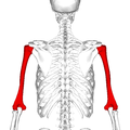 Humerus - posterior view2.png