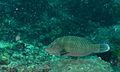 Humphead Wrasse (Cheilinus undulatus) juvenile (8500642884).jpg