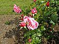 Hybrid Tea - Pink Favorite 02 (b).JPG