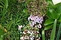 Hydrangea macrophylla 22zz.jpg