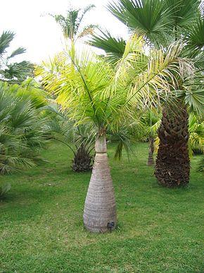Palm Tree Age Rings