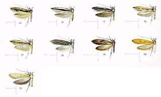 <i>Hyposmocoma chilonella</i> Species of moth