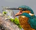 IJsvogel met vis.jpg