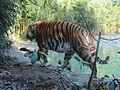 ITALY - Tigre Siberiana - Parco Natura Viva - Verona.JPG