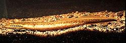 Lamproie du nord (Ichthyomyzon fossor)