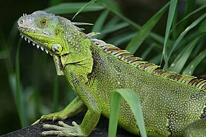 English: Iguana iguana seen in Fern Forest, Fl...