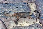 Iguana marina (Amblyrhynchus cristatus), isla Santa Cruz, islas Galápagos, Ecuador, 2015-07-26, DD 47.JPG