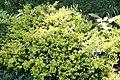 Ilex crenata Golden Heller 1zz.jpg
