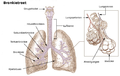 Illu bronchi lungs No.png