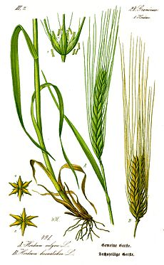 Illustration Hordeum vulgare1.jpg