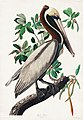 Illustration from Birds of America (1827) by John James Audubon, digitally enhanced by rawpixel-com 251.jpg