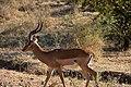 Impala, Ruaha National Park (2) (28128660713).jpg