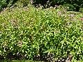 Impatiens glandulifera (Balsaminaceae) plant.JPG