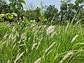 Imperata cylindrica - Cogon grass.jpg