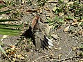 Inca dove grooming feather 201708312.jpg