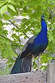 Indian Blue Peacock.jpg