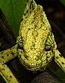 Indian Chameleon Chamaeleo zeylanicus by Dr. Raju Kasambe DSCN7134 (15).jpg