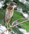Indian Pond Heron I IMG 8076.jpg