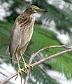 Indian Pond Heron I IMG 8076.jpg
