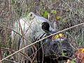 Indian Rhino (2384980316).jpg