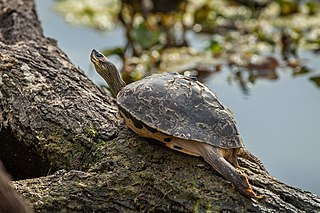 Indian roofed turtle species of reptile