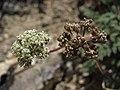 Indian spring parsley, Cymopterus aboriginum (45713406325).jpg