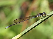 Indolestes gracilis - male.jpg