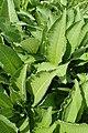 Inula helenium kz02.jpg