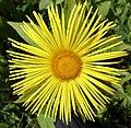 Inula hookeri (Hooker's Fleabane), Culzean Country Park, Ayrshire - petals.jpg