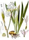 Iris pallida - Köhler–s Medizinal-Pflanzen-079.jpg