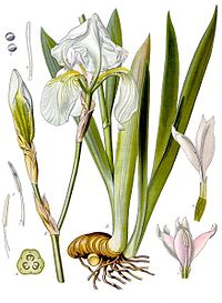 Iris pallida - Köhler–s Medizinal-Pflanzen-079