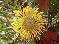 Isopogon anemonifolius flower 2.jpg